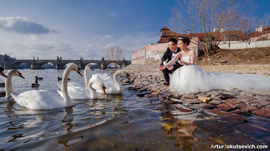 Swans in Prague photo